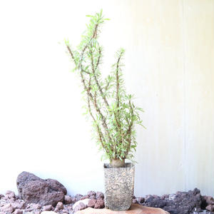 フォークイエリア   プルプシー  no.017   Fouquieria purpusii