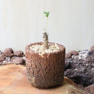 ペラルゴニウム     no.003   Pelargonium pearlcemu