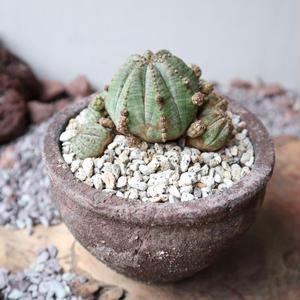 ユーフォルビア  仔吹きオベサ   no.049   Euphorbia obesa