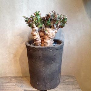 ユーフォルビア ハマタ   鬼棲木   Euphorbia hamata