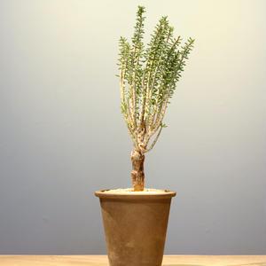 ケラリア ナマクエンシス   no.001   Ceraria namaquensis
