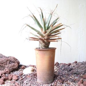 レウクテンベルギア  晃山   no.009   Leuchtenbergia principis
