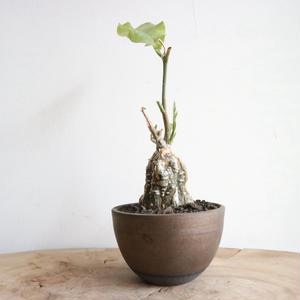 ケファロペンタンドラ    エキローサ   no.002   Cephalopentandra  ecirrhosa