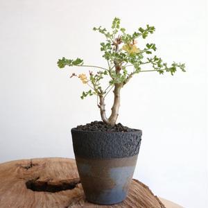 ペラルゴニウム アルテルナンス  no.001    Pelargonium alternans