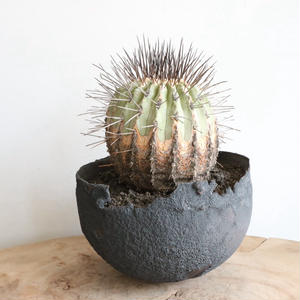 コピアポア 黒士冠    no.001   Copiapoa cinerea var. dealbata