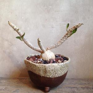 ユーフォルビア アンボボベンシス     Euphorbia ambovombensis