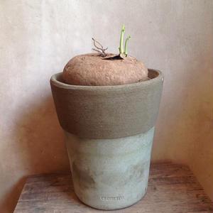 ステファニア   エレクタ   Stephania erecta