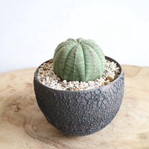 ユーフォルビア  オベサ   no.031   Euphorbia obesa