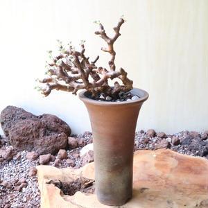 ペラルゴニム    ミラビレ no.008    Pelargonium mirabile