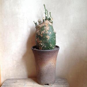 アデニア  グロボーサ    no.06   Adenia globosa