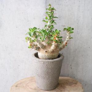 パキポディウム  サンデルシー   no.005  Pachypodium saundersii