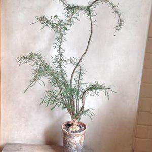 ユーフォルビア   サカラハエンシス   no.04  Euphorbia sakarahaensis