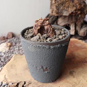 ペラルゴニウム  トリステ  no.007    Pelargonium triste