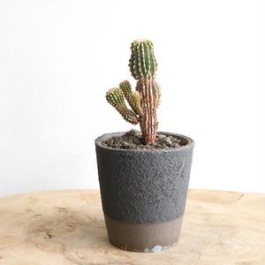 ゲオヒントニア    メキシカーナ  no.002   Geohintonia mexicana