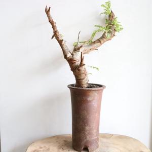 ボスウェリア  ネグレクタ    no.008   Boswellia neglecta