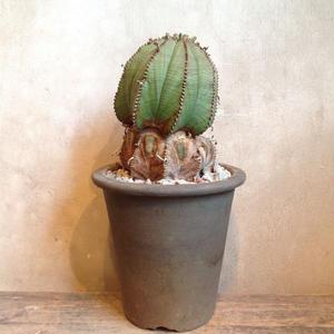 ユーフォルビア  バリダ   no.10   Euphorbia valida