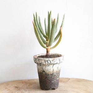 アロエ   ディコトマ   no.002   Aloe dichotoma