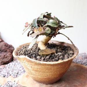 ユーフォルビア   フランコイシー  no.005  Euphorbia francoisii
