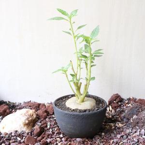 ドルステニア   ザンジバリカ  no.002    Dorstenia zanzibarica