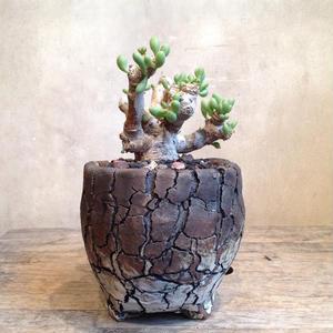 オトンナ    クラビフォリア    no.05  Othonna clavifolia