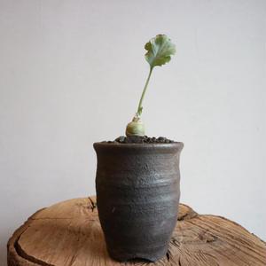 ぺラルゴニウム    クリンガルドテンセ  no.004  Pelargonium klinghardtense
