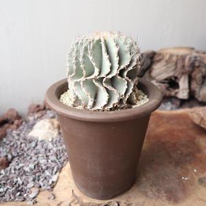 ゲオヒントニア    メキシカーナ  自根  no.006   Geohintonia mexicana