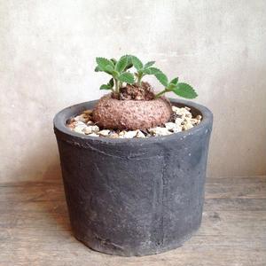 シンニンギア  レウコトリカ       Sinningia leucotricha