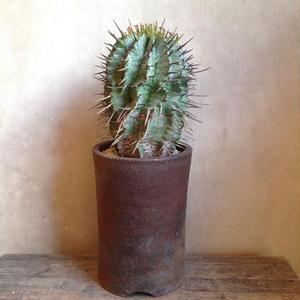 SALE    ¥11,000→¥8,800     ユーフォルビア  ホリダ no.4   Euphorbia  horrida