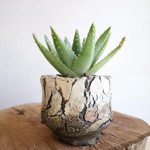 アロエ  竜山     no.001    Aloe brevifolia