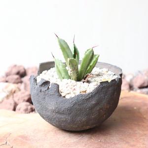 アガベ   キュービック  no.003    Agave potatorum f.monstrosa 'cubic'