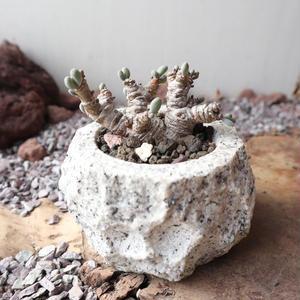 オトンナ    クラビフォリア    no.005    Othonna clavifolia