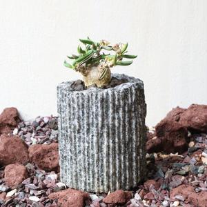 ユーフォルビア キリンドフォリア no.003   Euphorbia cylindrifolia