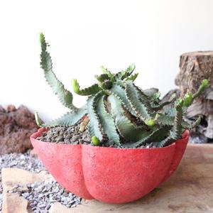 ユーフォルビア ステラータ  ×  松永圭太     Euphorbia stellata