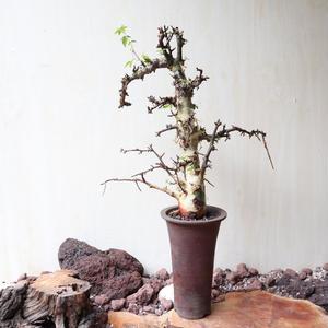 コミフォラ   アフリカーナ    no.006    Commiphora africana
