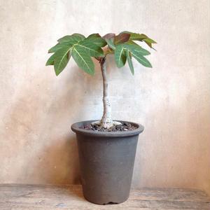 フィランサス   Phyllanthus