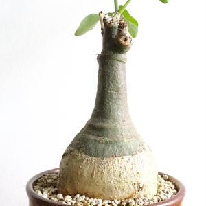 アデニア   グラウカ  no.006   Adenia glauca