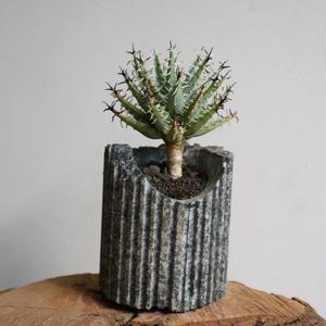 アロエ  エリナケア   no.001    Aloe melanacantha v. erinacea