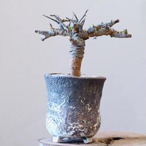 ボスウェリア  ネグレクタ    no.001   Boswellia neglecta