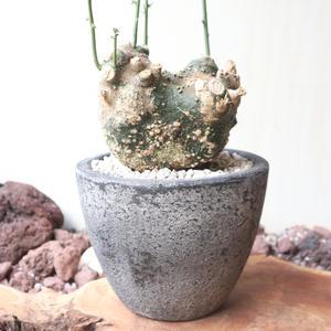 アデニア  グロボーサ    no.006   Adenia globosa