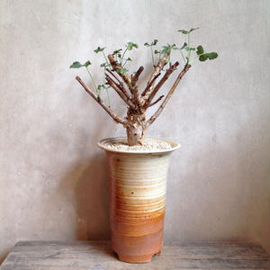 ヤトロファ   ペラルゴニフォリア    Jatropha sp. aff. pelargonifolia