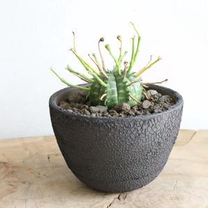 ユーフォルビア  バリダ   no.022   Euphorbia valida