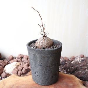 ディオスコレア   亀甲竜   no.015   Dioscorea elephantipe