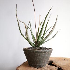 アロエ  アルビフローラ      no.001    Aloe albiflora