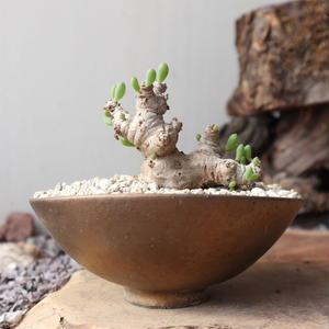 オトンナ    クラビフォリア    no.010    Othonna clavifolia
