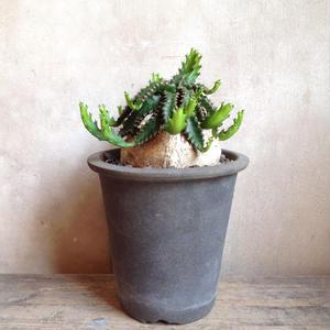 ユーフォルビア   ステラータ   no.04   Euphorbia stellata