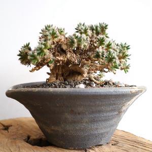トリコディアデマ     デンスム   紫星晃    no.001   Trichodiadema densum