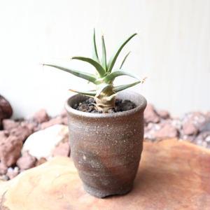 レウクテンベルギア  晃山   no.011   Leuchtenbergia principis