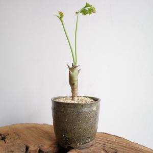 ペラルゴニウム フェルラケウム  no.001  Pelargonium ferulaceum  alexander  bey