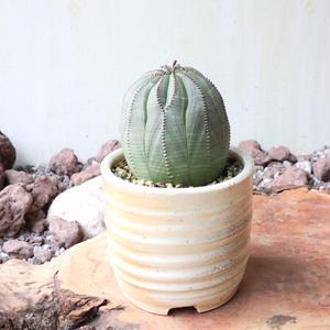 ユーフォルビア  オベサ   no.037   Euphorbia obesa