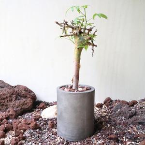 コミフォラ  ホルトジアナ   no.001  Commiphora holtziana